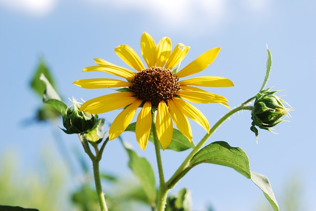 wild, sunflower, flowers, roadside, plants, summer