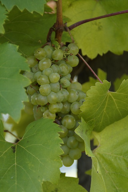 wine, grapes, plant, fruit, green, winegrowing, food