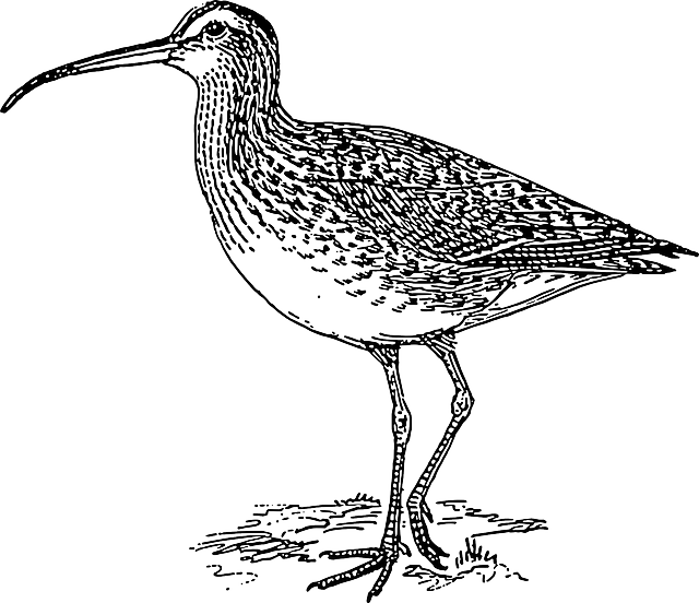 wings, curlew, long, standing, tail, beak, legs