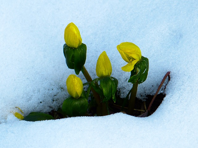 winterling, eranthis hyemalis, snow, early bloomer