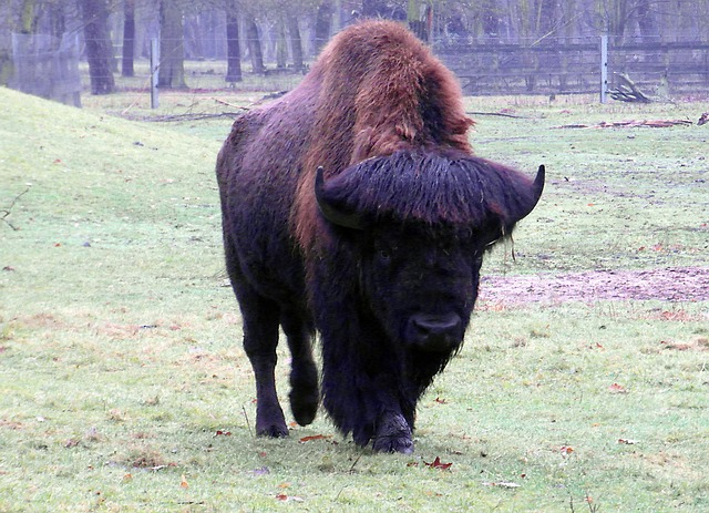 wisent, buffalo, large, massive, autumn forest, zoo