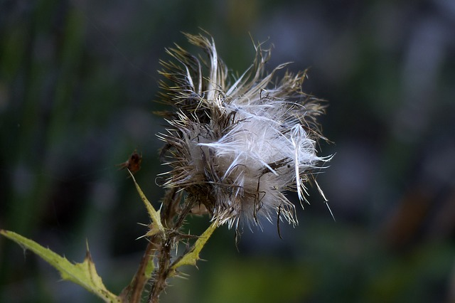 withered, thistle, wild plant, meadow, forest, plant