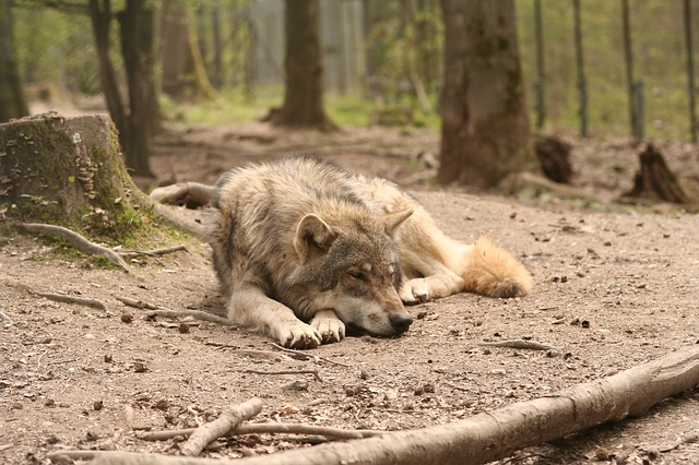 wolf, canis lupus, enclosure, zoo, forest, pets