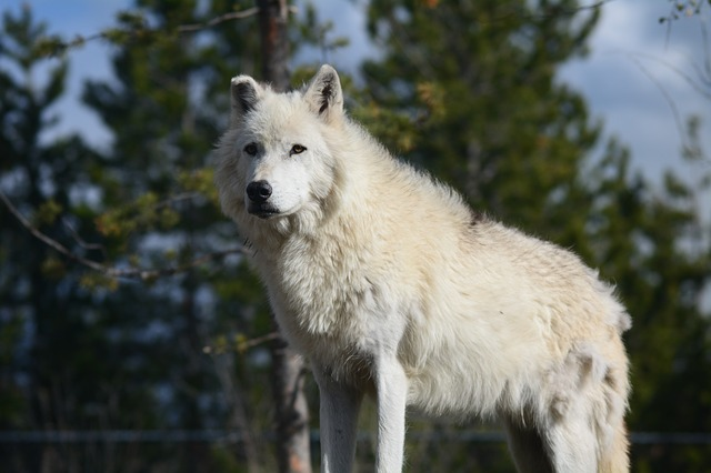 wolf, canis lupus, yellowstone national park, forest