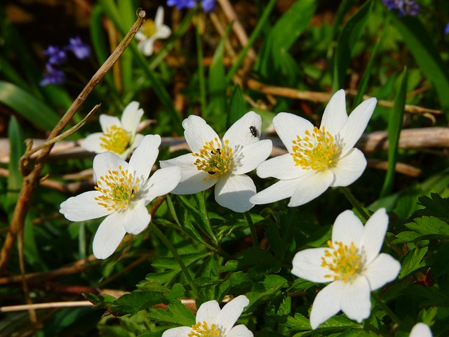 wood anemone, anemone, flower, white