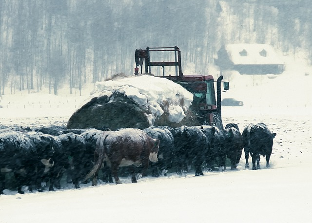 wyoming, cattle, hay truck, feed lot, farm, rural
