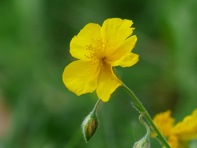 yellow brown, flower, yellow, helianthemum nummularium
