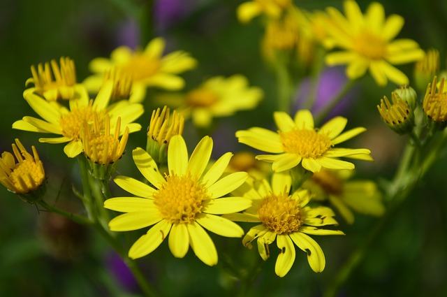 yellow, daisy, flower, plant