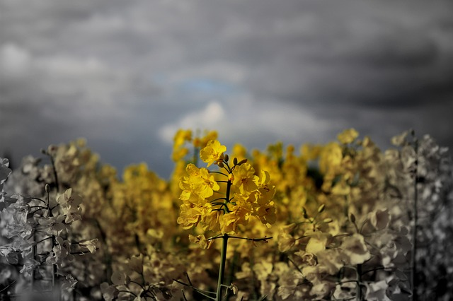 yellow, field, flora, flower, farm, farmer, country