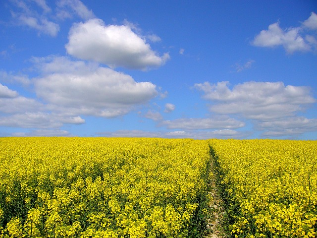 yellow, field, oilseed rape, agricultural plant, crop