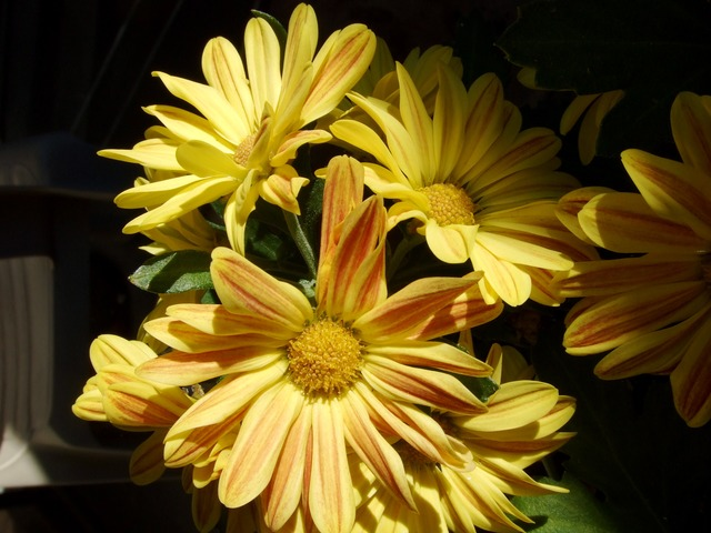 yellow, flowers, daisies