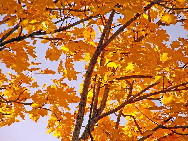 yellow, maple, tree, leaves, autumn, fall, branches