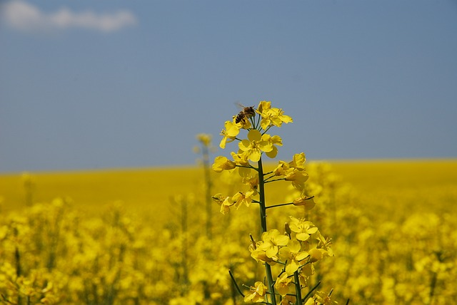 yellow, nature, colza field, plant, seed, bee
