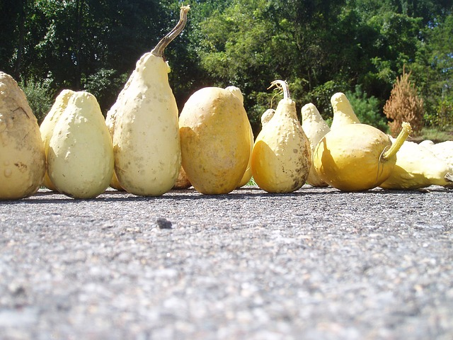 yellow, ornamental, gourds, fall, halloween, pumpkin