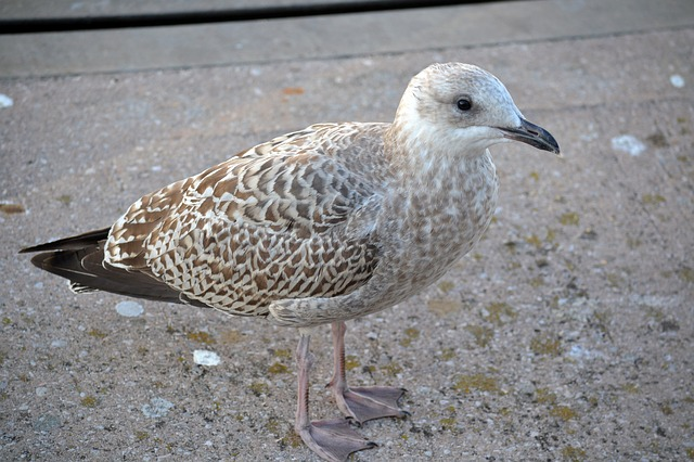 young gull, seagull, bird, sea, beach, ocean, brighton