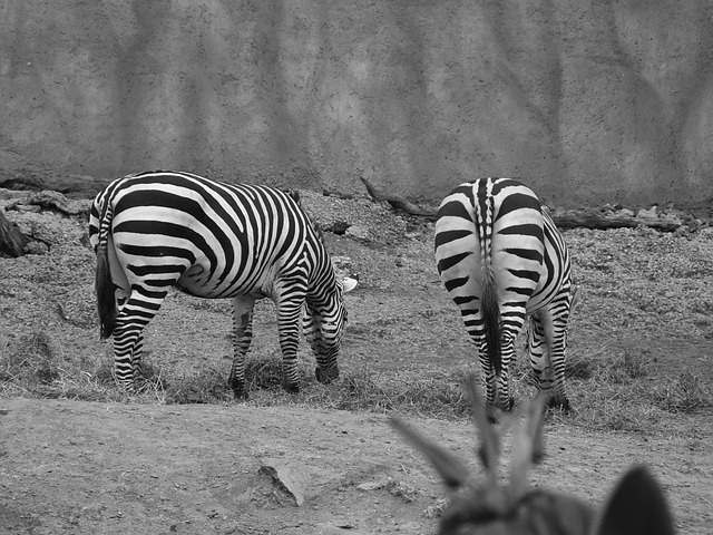 zebra, zoo, animals
