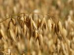 , oats, oat field, arable, cereals, grain, cornfield