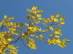 autumn, colorful, leaves, yellow, golden, poplar