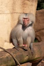 baboon, zoo, monkey, animal, nature, sit