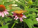 butterfly, coneflower, nature, beauty