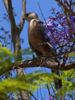 buzzard, raptor, bird of prey, bird, nature, pets