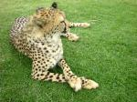 cheetah, big cat, wildlife, spots, acinonyx jubatus