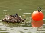 coot, nest, water, bird's nest, breed, boje, swim, red