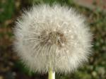 dandelion, flower, nature, white