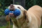 dog, nelly, toys, chew, tooth, mammal, animal