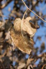 dried, leaves, mulberry, trees, autumn, health, plants