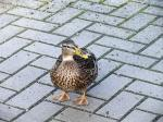 duck, animal, wild bird, bird, plumage, bill, away