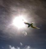 fairy tern, berd, flying, flight, sun, sky, clouds