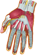 finger, hand, anatomy, muscles, human, nerves