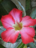flower, adenium, pink, pink flower, flowers, nature