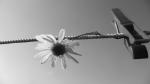 flower, clothespin, clothes, peg