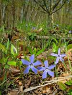 forest, plant, bush, ground cover, periwinkle