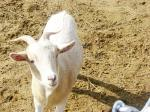goat, farm, animal, nature, white