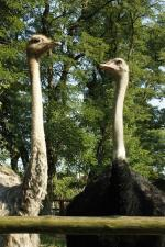 ostrich, bird, animals, zoo, zoological garden, beak