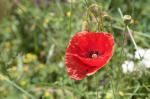 poppy, flowers, nature, flower, red