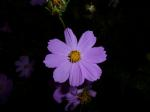 purple flower, in the evening, flash, macro, garden