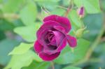 rose, green, purple, single