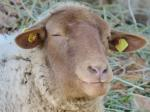 sheep, sheepshead, eyes, animal, mammal, pasture