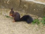 squirrel, cute, croissant, nager, fur, furry, animal