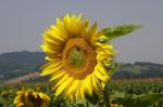 sun flower, yellow, nature, mood, rest, harvest