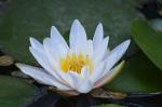 water lily, white, aquatic plant, water, flower, lake
