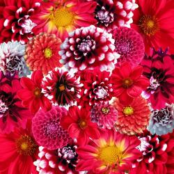 , autumn, dahlias, flowers, flower, plant, nature, dalia
