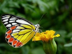 , butterfly, common jezebel, plant, plants, flower