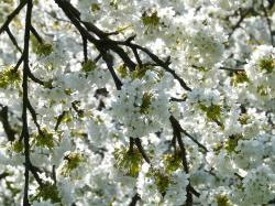 , cherry blossom, cherry, flower, white, spring