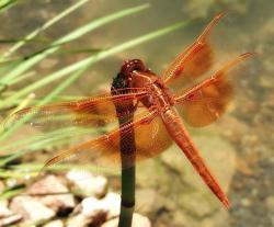 , dragonfly, insect, nature, outside, macro, closeup