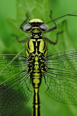 , dragonfly, macro, insect, water, see, predatory insect